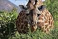Giraffe, Ruaha National Park (22) (28706199236).jpg