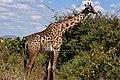 Giraffe, Ruaha National Park (5) (28121950814).jpg