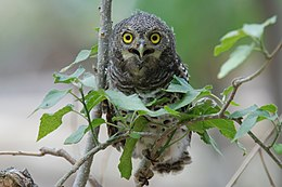 Glaucidium capense2.jpg