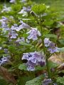Glechoma-hederacea-2014-05-26-Mount-Lebanon-01.jpg