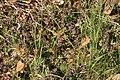 Glechoma-hederacea-habitus.jpg
