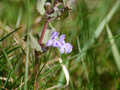 Glechoma hederacea- growing as a weed in a lawn.png