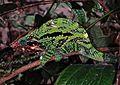 Globe-horned Chameleon (Calumma globifer) (7639148832).jpg