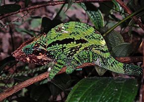 Description de l'image Globe-horned Chameleon (Calumma globifer) (7639148832).jpg.