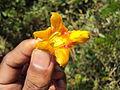 Gmelina arborea flower 01.JPG