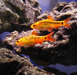Gold Barb Puntius semifasciolatus 7
