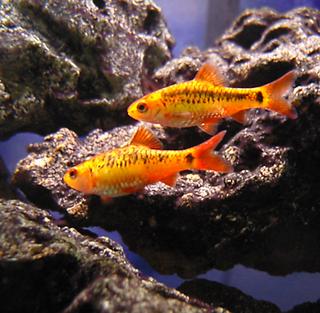 <i>Barbodes</i> genus of fishes