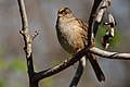 Golden-crownedSparrow-1MAR2017.jpg