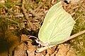 Gonepteryx.rhamni2.-.lindsey.jpg