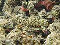 Gonodactylus chiragra.jpg