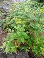 Gonospermum gomerae kz1.JPG