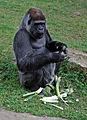 Gorilla0488b.jpg