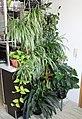 Grünlilien (Chlorophytum comosum) (20290250268).jpg
