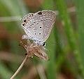 Gram Blue (Euchrysops cnejus) in Hyderabad, AP W IMG 7945.jpg
