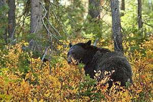 American black bear - Black bear at Grand Teton National Park