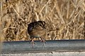 Grasshopper Sparrow (fall plumage) Curly Horse Ranch Rd Sonoita AZ 2017-12-16 09-28-28-5 (24258235437).jpg