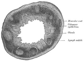 Gut-associated lymphoid tissue - Image: Gray 1074