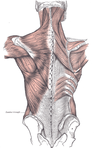 Thoracolumbar fascia - Superficial muscles of the back. The thoracolumbar fascia is the gray area at bottom center.