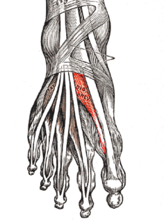 Extensor hallucis brevis muscle Muscle on the top of the foot that helps to extend the big toe