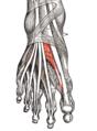 Gray437-Musculus extensor hallucis brevis.png