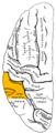 Gray725 Supramarginal gyrus.png