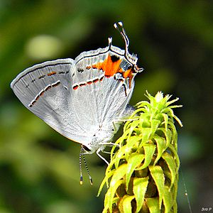 Eyespot (mimicry) - Image: Gray Hairstreak (One more time...) (6222138633)