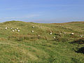 Grazing sheep to the northwest of Far Height - geograph.org.uk - 577297.jpg