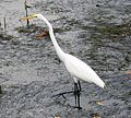 Great Egret . Ardea alba - Flickr - gailhampshire.jpg