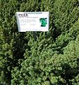 Great Swamp Greenhouse photos Picea Dwarf Alberta Spruce.JPG