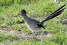 Greater Roadrunner Geococcyx californianus.jpg