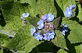 Green Alkanet (Pentaglottis sempervirens) - geograph.org.uk - 422096.jpg