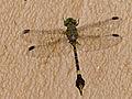 Green Hooktail (Paragomphus genei) male (13848103495).jpg