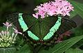 Green Swallotail (Papilio palinurus) - Relic38.jpg