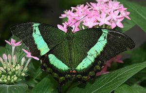 image of Green Swallotail (Papilio palinurus) - Relic38