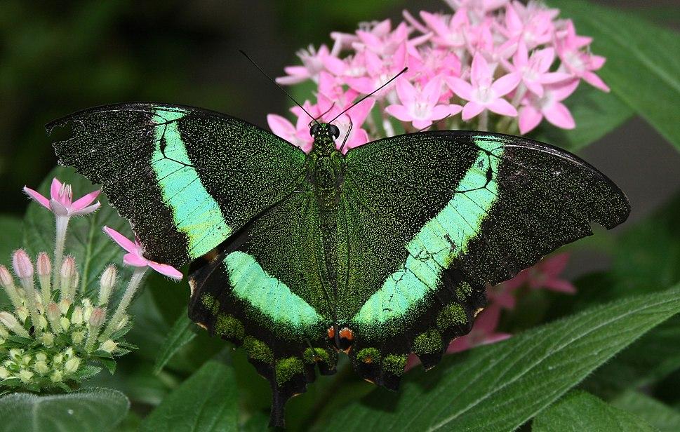 Green Swallotail (Papilio palinurus) - Relic38