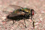 Les mouches pour améliorer l'alimentation  180px-Green_bottle_fly3