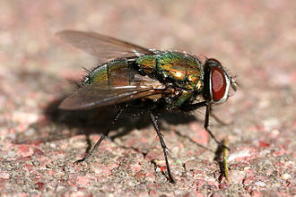 Green bottle fly - Image: Green bottle fly 3