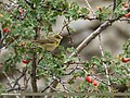 Greenish Warbler (Phylloscopus trochiloides) (29970374950).jpg