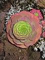 Greenovia aurea leafs.jpg