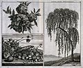 Grenadine (Punica granatum) flowers and tree and a mixture o Wellcome V0043068.jpg