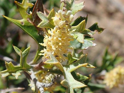 Grevillea ramosissima 44236083614 10fb2bc15a o