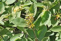 Grewia flavescens (G pilosa)- Khatkhati in Hyderabad, AP W IMG 9132