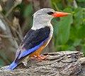 Grey-headed Kingfisher (Halcyon leucocephala) (11929836715), crop.jpg
