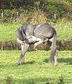 Grey horse grooming.JPG