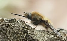 Grosser Wollschweber Bombylius major detail.jpg