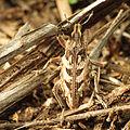 Ground Weevil (15961042955).jpg