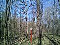Group of 10 oak trees in Scoreni forest 02.jpg