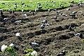 Growing pigeons (1347486063).jpg