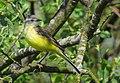 Gulärla Yellow Wagtail (14287010528).jpg