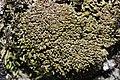 Gymnomitrion concinnatum (b, 140302-471711) 3874.JPG